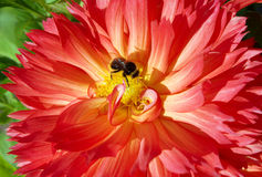 Beautiful flowering dahlia. With humble-bee Stock Photo