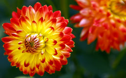 Beautiful flowering Dahlia. Colors:red and yellow. Royalty Free Stock Image