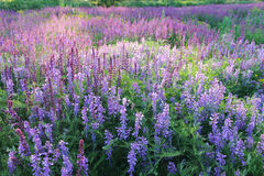 Beautiful flowering field with Salvia officinalis and Vicia cracca. Royalty Free Stock Photos