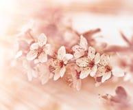 Beautiful flowering fruit tree Stock Images