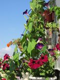 Beautiful flowering garden on the balcony. Nature in the city. Morning glory, petunia and purslane flowers grow in pots. And containers royalty free stock photos