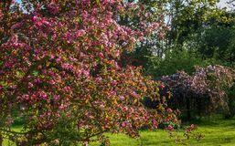 Beautiful flowering garden in Latvia royalty free stock images