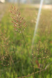 Beautiful flowering grass Royalty Free Stock Photo