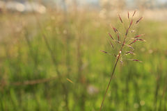 Beautiful flowering grass Royalty Free Stock Image