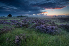 Beautiful flowering heather at sunrise Stock Photography