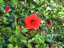 Beautiful flowering hibiscus in the garden stock photo