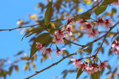 Beautiful flowering Japanese cherry - Sakura. Background with fl Royalty Free Stock Images