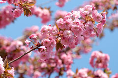 Beautiful flowering Japanese cherry - Sakura. Background with flowers on a spring day royalty free stock photo