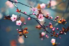 Beautiful flowering Japanese cherry - Sakura. Background with flowers on a spring day. Stock Photography