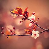 Beautiful flowering Japanese cherry - Sakura. Background with flowers on a spring day. Royalty Free Stock Photo