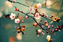 Beautiful flowering Japanese cherry - Sakura. Background with flowers on a spring day. Royalty Free Stock Photos