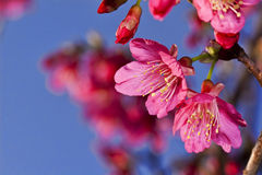 Beautiful flowering Japanese cherry Royalty Free Stock Image