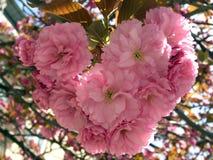 Beautiful flowering Japanese cherry - Sakura. Background with flowers on a spring day. sakura flowers heart stock photos