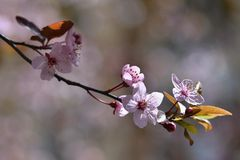 Beautiful flowering Japanese cherry Sakura. Season Background. Outdoor natural blurred background with flowering tree in spring. Royalty Free Stock Photography