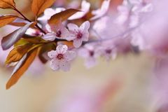 Beautiful flowering Japanese cherry Sakura. Season Background. Outdoor natural blurred background with flowering tree in spring su Royalty Free Stock Images
