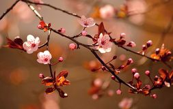 Beautiful flowering Japanese Sakura Stock Photography