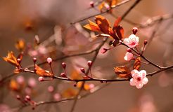 Beautiful flowering Japanese Sakura Stock Photo