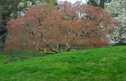 Beautiful flowering Japanese tree Stock Images