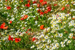 Free Beautiful Flowering Meadow With Poppies And Daisies On A Bright Sunny Summer Day Stock Photo - 154212740
