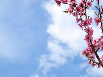Beautiful flowering peach tree, with empty space for text. stock photography