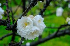 Beautiful flowering peach trees at Hanamomo no Sato,Iizaka Onsen,Fukushima,Japan royalty free stock image