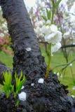 Beautiful flowering peach trees at Hanamomo no Sato,Iizaka Onsen,Fukushima,Japan royalty free stock photography