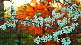 beautiful flowering pear tree on the background of red hazel Stock Images