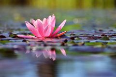 Free Beautiful Flowering Pink Water Lily - Lotus In A Garden In A Pond. Reflections On Water Surface. Stock Images - 116647364