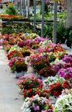Beautiful flowering plants in a nursery Stock Photos