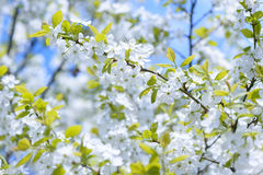 Beautiful flowering plum trees. Background with blooming flowers in spring day. Stock Photography