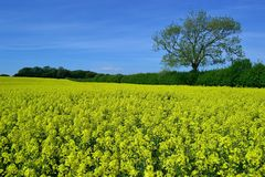 Beautiful bright flower landscape. A field of flowering rapeseed in the heart of the Dorset countryside Stock Images