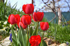 Beautiful flowering red tulips in the garden in springtime Stock Images
