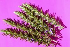 Beautiful Flowering Rosemary Herb Sprigs on Pinkl Background stock photography