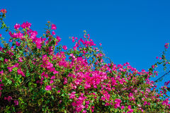 Beautiful flowering shrubs against the blue sky Stock Photo