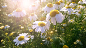 Beautiful flowering small daisies in the morning. Selective focus Royalty Free Stock Photography