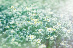 Beautiful flowering in spring - daisy flower. Wild chamomile, beautiful nature in springtime Royalty Free Stock Photography