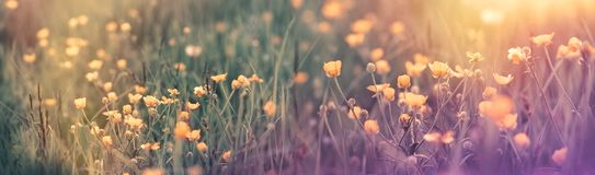 Beautiful flowering spring flower - buttercup flower in spring time. Beautiful flowering spring flower - buttercup flower, meadow landscape in spring Stock Photo