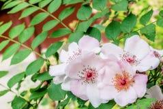 Beautiful flowering. Summer wild roses Royalty Free Stock Image