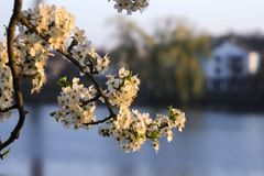Beautiful flowering tree on the background of the lake, on the other side of the house. Spring concept, tree with white flowers.  stock photo