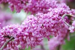 Beautiful Flowering Tree Stock Images