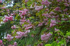 Beautiful flowering tree in a botanical garden, Coimbra. Portugal Stock Photography