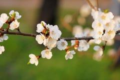 Beautiful flowering tree branch stock image