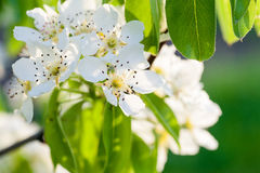 Beautiful flowering tree with green leaves in the spring close up Stock Photo