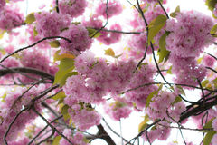 Beautiful flowering trees. Prague knows how to please the paints Stock Image