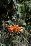 A beautiful flowering vine orange trumpet in the forest Stock Images