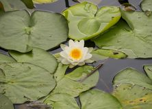 A beautiful flowering water lily in the canal of the Dutch city of Vlaardingen royalty free stock image
