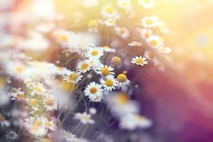 Beautiful flowering wild chamomile in spring. Beautiful nature, chamomile lit by sunlight sun-rays Royalty Free Stock Photo