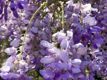 Beautiful Flowering Wisteria in Full Bloom in Springtime. Purple wisteria plant blooming in garden in spring. Climbing plant stock image