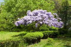 Beautiful flowering wisteria tree Royalty Free Stock Photography