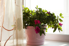 Beautiful flowerpot on a window sill Stock Image